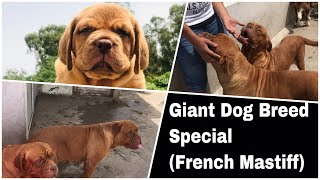 Giant Dog Breeds Special Basic Tips And Care