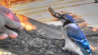 Hand Feeding My Blue Jay Buddy !
