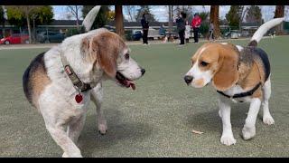 Oliver meets 30 other beagles! [4K]