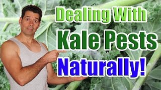 Dealing with Common Kale Pests Naturally (Caring for Kale Plants in the Garden)