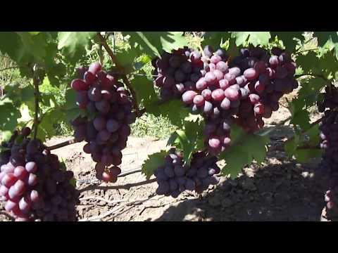 На винограднике: Низина