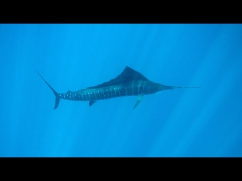 Billfish: Battle on the Line? - Full Episode