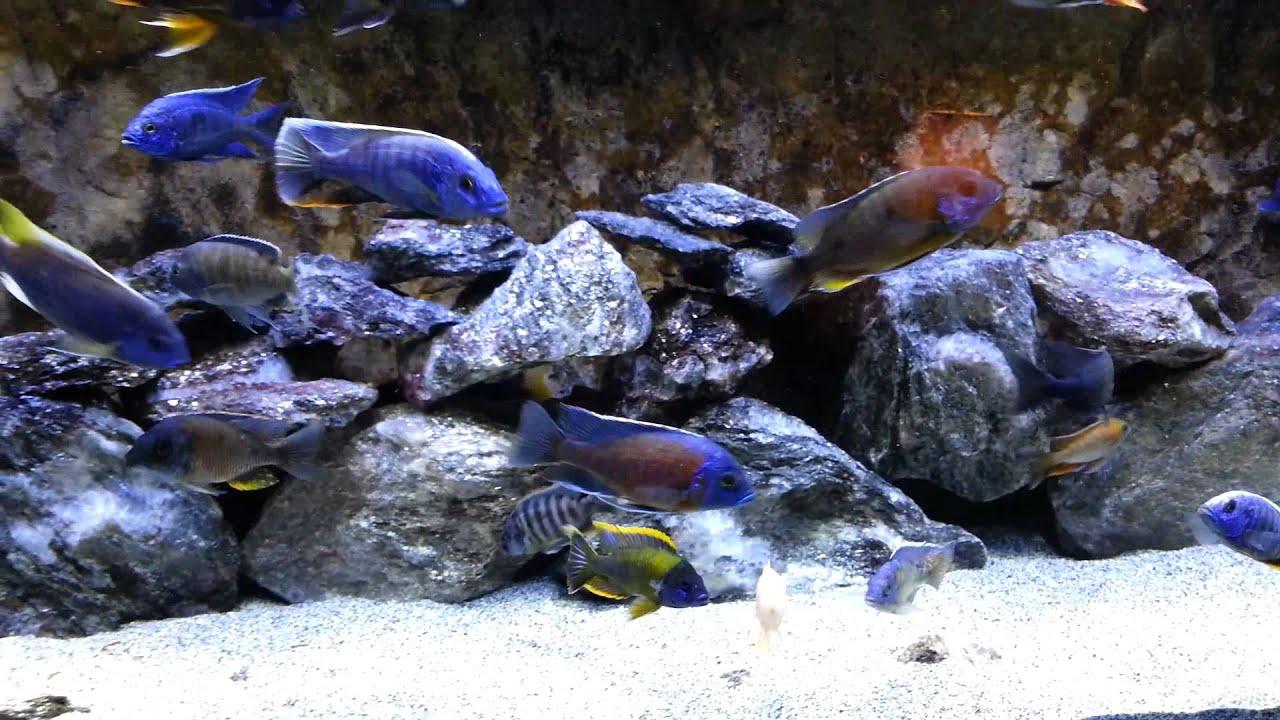 Back in the 120 show tank lake malawi cichlids youtube for Lake malawi fish