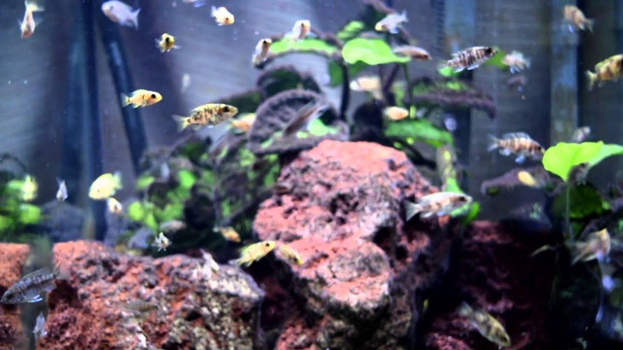Freshwater fish growth rates - Steps Used In Helping Growth Rate Of Baby Peacock Cichlids