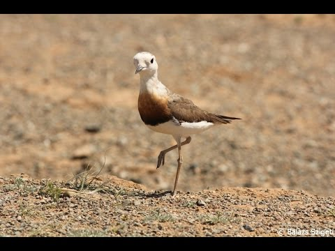 Updated video of our birding and wildlife tours in Mongolia