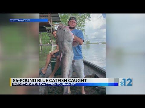 86 Pound Blue Catfish Caught During Tournament In Natchez