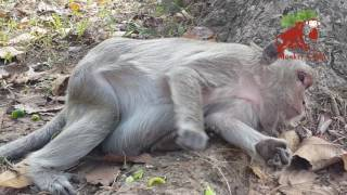 She cry because of nearly give a birth, Real life of monkey, Monkey Camp part 185 thumbnail
