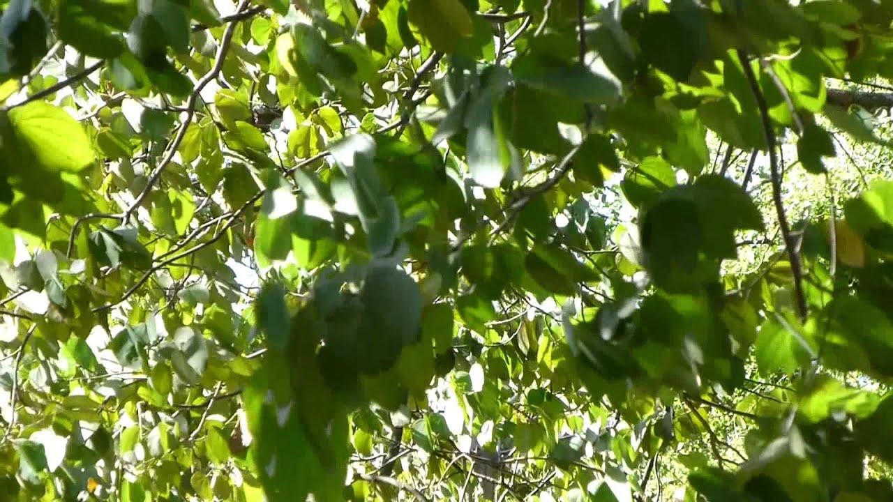 4973 hojas de un rbol moviendose con el viento raw for Arboles de hoja perenne limpios