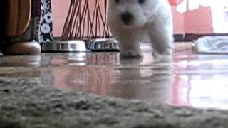 West Highland White Terrier Leon2