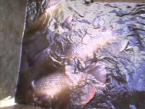 Ikan Gurami Komoditas Unggulan
