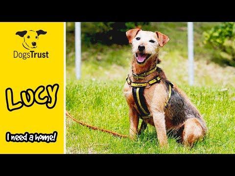 Lucy the Irish Terrier Loves her Beach Walk! | Dogs Trust Bridgend
