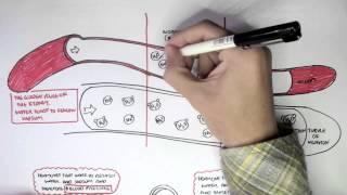 Part I - Regulation of Blood Pressure (Hormones)