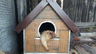 Сурок Байбак (Marmota bobak)