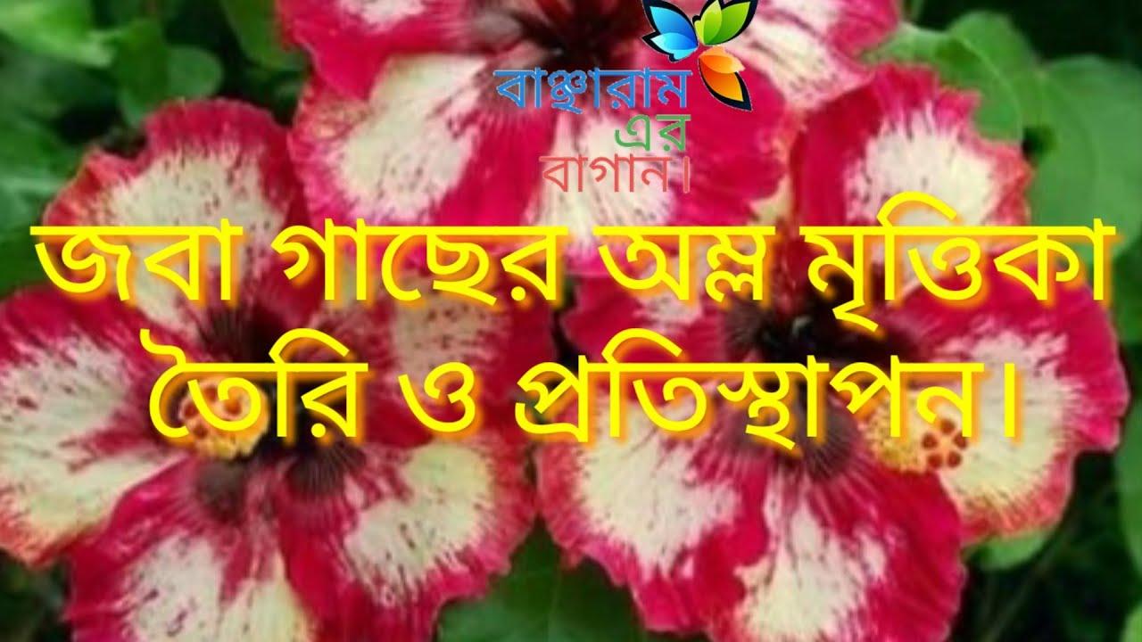 জবা গাছের জন্য অম্ল মৃত্তিকা তৈরি ও প্রতিস্থাপন। How to grow and care Hibiscus plant