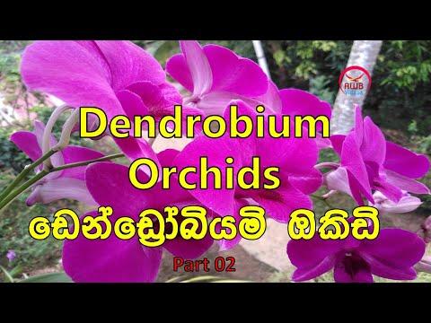 Violicious Dendrobium Orchid