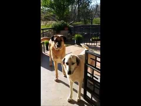 Anatolian shepherd dogs respond to morning walk