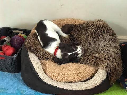 Barney - Springer Spaniel Puppy - 3 Weeks Residential Dog Training