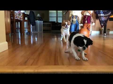 Japanese Chin pups playing on hardwood floor:  YEEHAW!