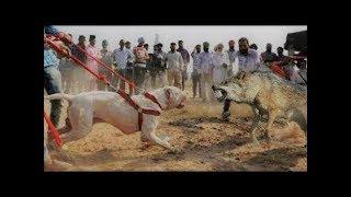 Vahşi Kurtları Öldürebilen 11 Köpek türü