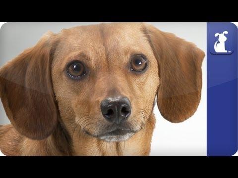 Doglopedia - Dachshund Retriever