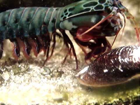 Mantis Shrimp I...