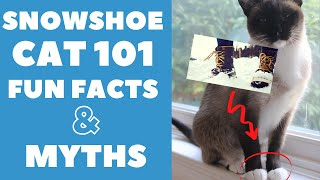 Snowshoe Cats 101 : Fun Facts & Myths