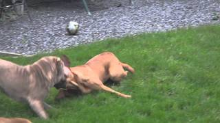 Bull Mastiff Verses Shar Pei V Bully Bordeaux