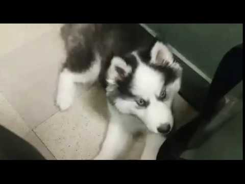 Cute Siberian Husky Puppy