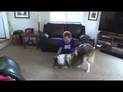 Teach Your Dog to Take a Bow, Collie, Dog Tricks, Trick
