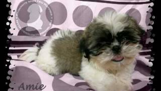 Shih Tzu Puppies For Sale Quezon City, Philippines