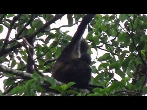 Singe Araignée - Geoffroy's spider monkey - Uxpanapa Road, Veracruz, Mexico
