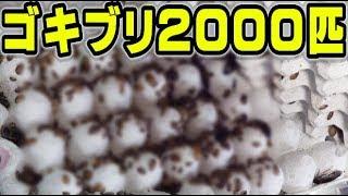 大量のゴキブリをトカゲにあげたら大パニック状態にwww【鰐コラボ#2】 thumbnail