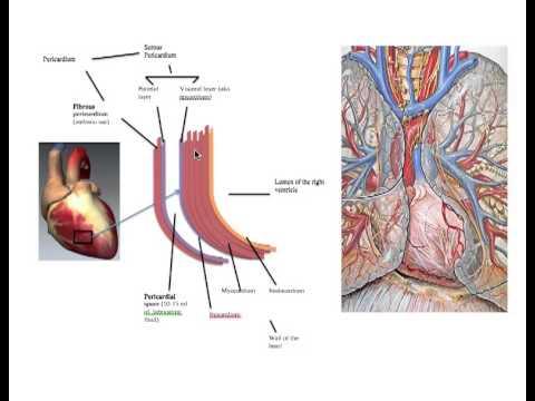 Cardiovascular System: Pericardium