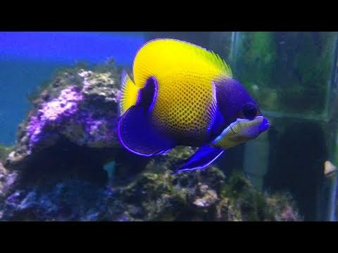 Majestic Angelfish. A Beauty Worth Watching!!