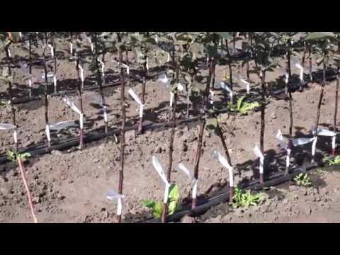 Как вырастить саженец яблони