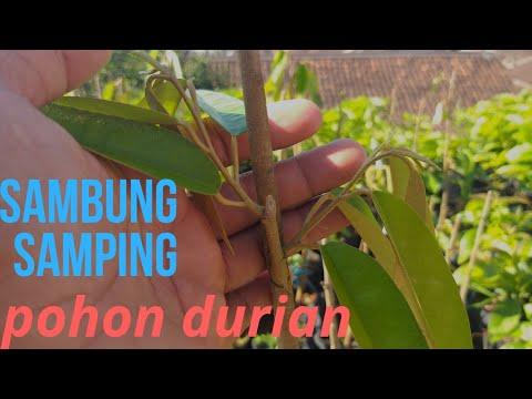 SAMBUNG DURIAN MONTONG(tekhnik Sisip)