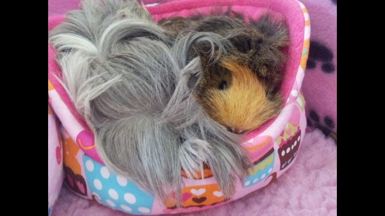 How i clean the vet bed in my guinea pigs cage youtube for How to make a guinea pig bed
