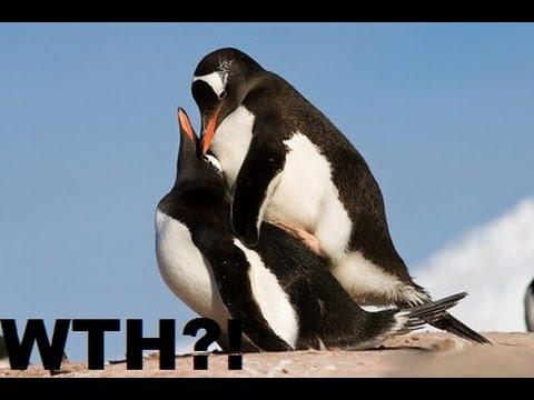 Pinguin sex