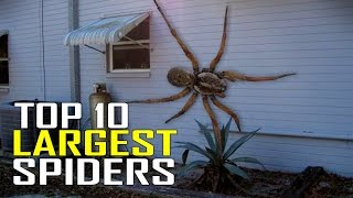 Top 10 World's Largest Giant Spiders in the World