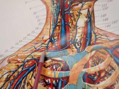 CSULA BIO 200B Arterial Division III - YouTube