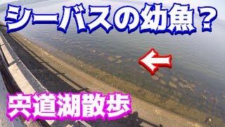 シーバスの幼魚?宍道湖散歩