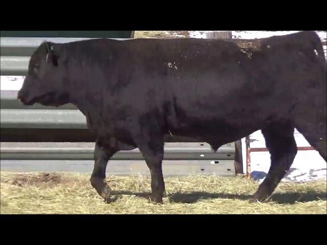 Connealy Angus Lot 65