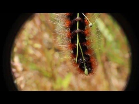 Caterpillar of the garden tiger moth (Arctia caja) - wolfing down a bud