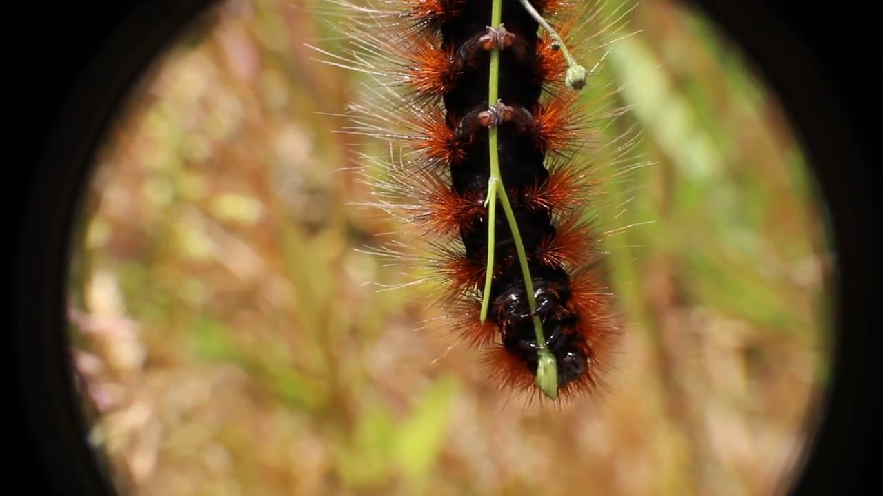 Caterpillar of the garden tiger moth (Arctia caja) - wolfing down a ...