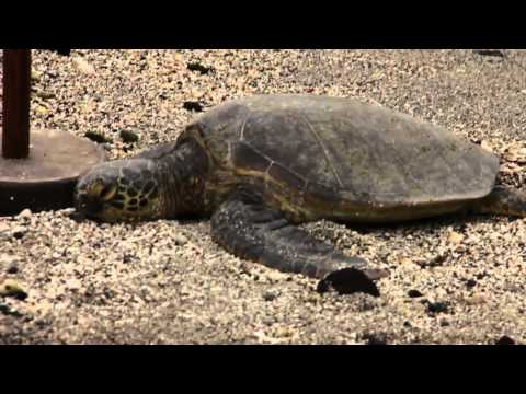Turtle on beach in Hawaii: Pu