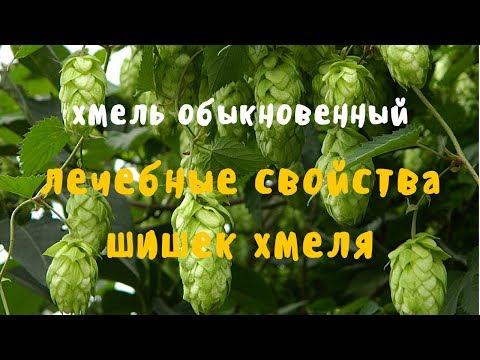 Купить хмель обыкновенный с доставкой в Москве, фото