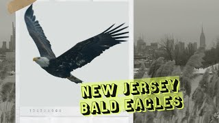 New Jersey bald eagles find fish in the shadows of the city