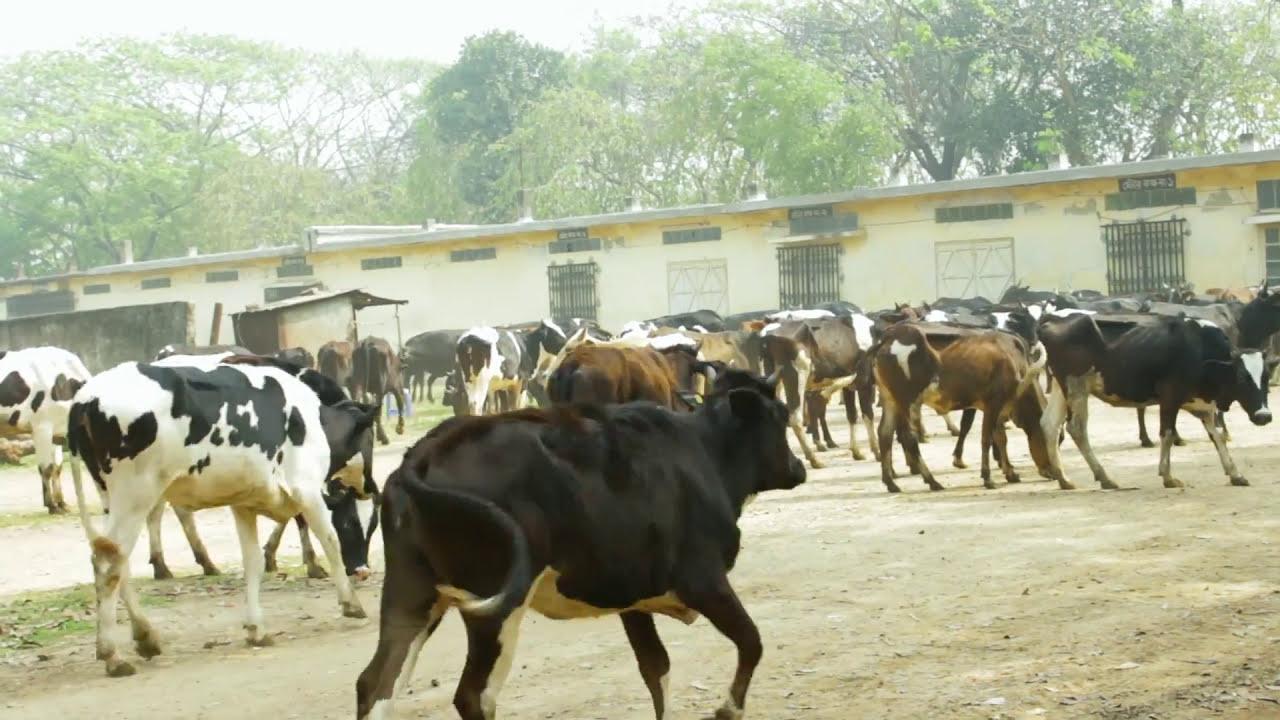 How To Start Dairy Farm In Savar Bangladesh