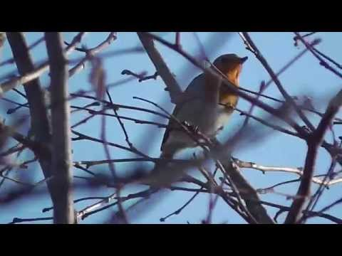 The Song of the Robin Redbreast