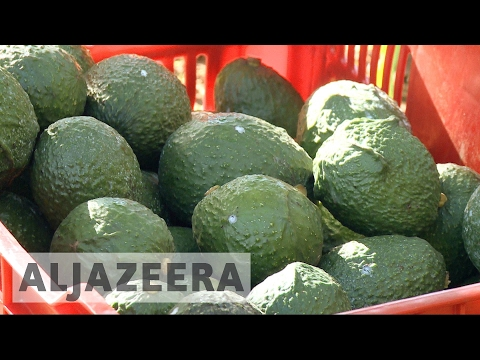 Mexican avocado exports to US in doubt